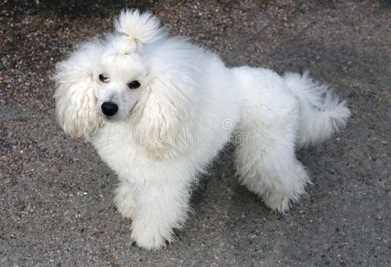 White Miniature Poodle in Forest. Portrait of my young white miniature poodle. This dog is super cute, furry and fluffy friend with white fur, black nose and stock photo