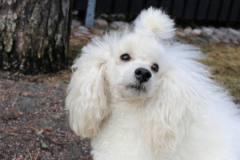 White Miniature Poodle in Forest. Portrait of my young white miniature poodle. This dog is super cute, furry and fluffy friend with white fur, black nose and stock images