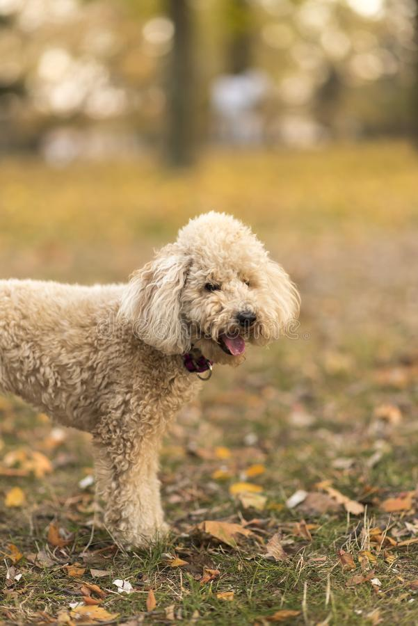 White miniature poodle, sunset in a park royalty free stock photos