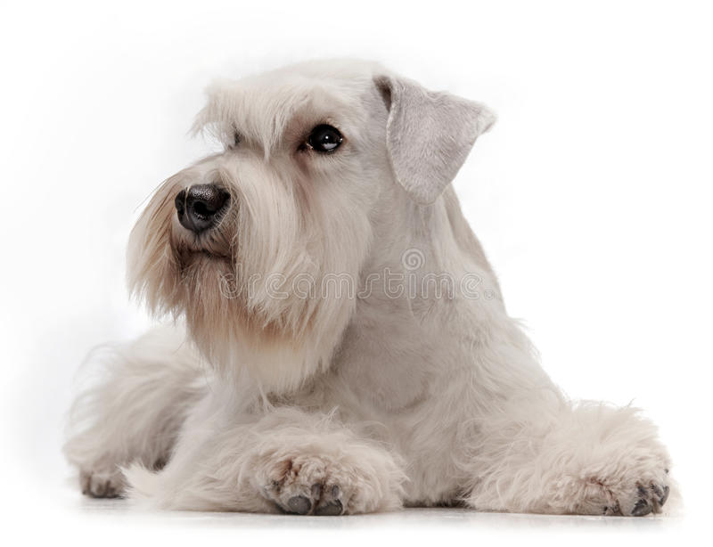 White miniature schnauzer puppy. Five month old royalty free stock photos