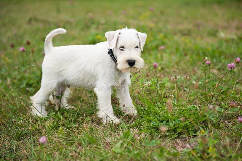 White Miniature Schnauzer puppy. 8-weeks-old miniature schnauzer puppy stock image