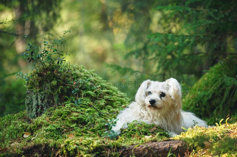 White mixed breed dog in forest. White cute old mixed breed dog in forest royalty free stock images