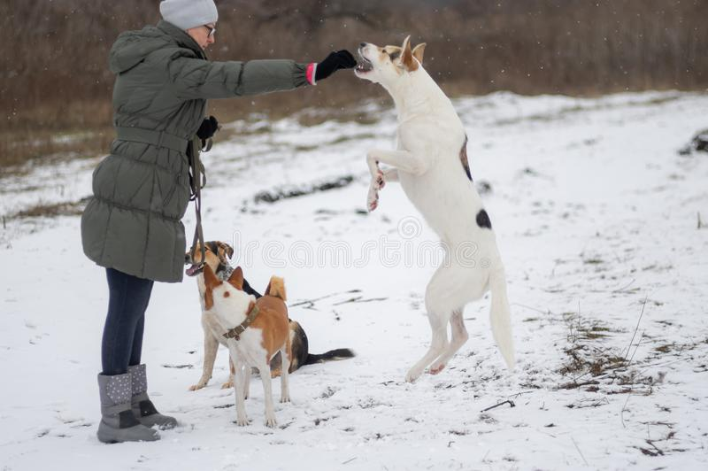Dog jumping on hind leg on a snow covered ground for to get some feed from female master hand royalty free stock photo