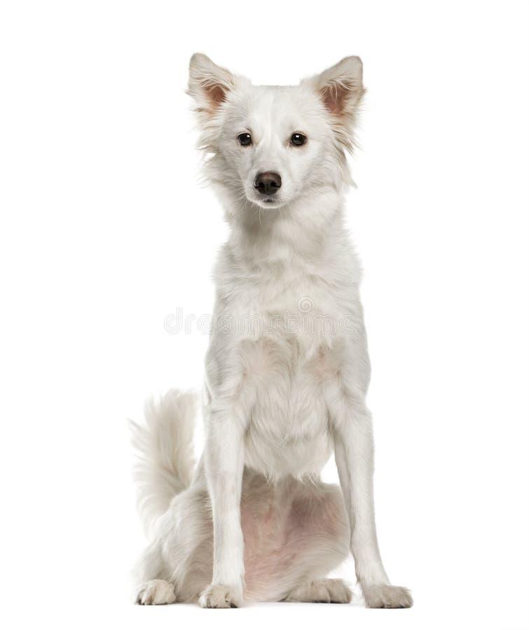 White mixed breeded dog sitting, isolated stock image