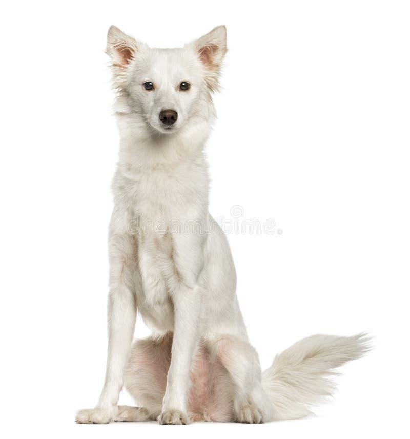 White mixed breeded dog sitting, isolated stock photos
