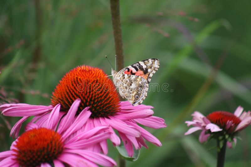 White Monarch on a Coneflower 2019 stock photography