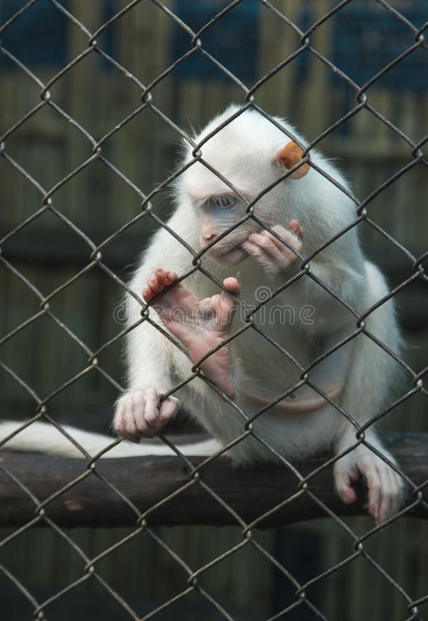 White monkey thinking in a cage behind bars royalty free stock photography