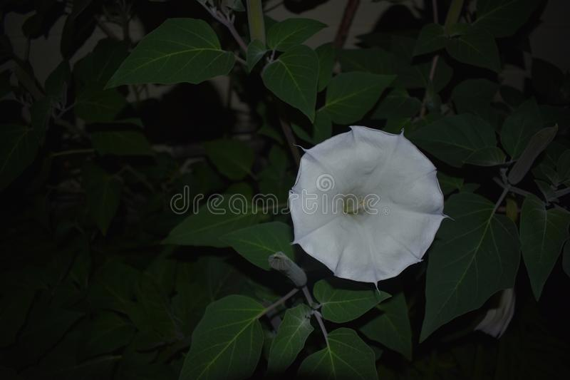 White Moonflower in full bloom with purple edges. stock images