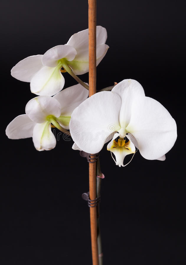 White moth orchid on black. Background royalty free stock image