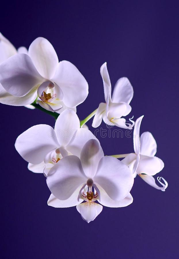 White Moth Orchid in Close Up Photography during Daytime royalty free stock photography