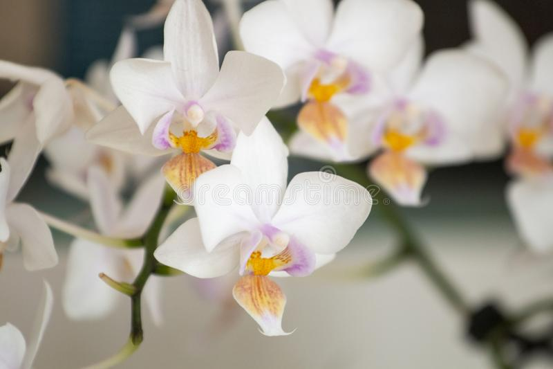 White moth orchid. Close up view of the white moth orchid stock images