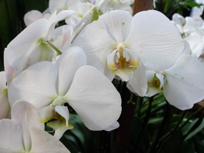 White moth orchid in the greenhouse. Phalaenopsis blume.  stock photo
