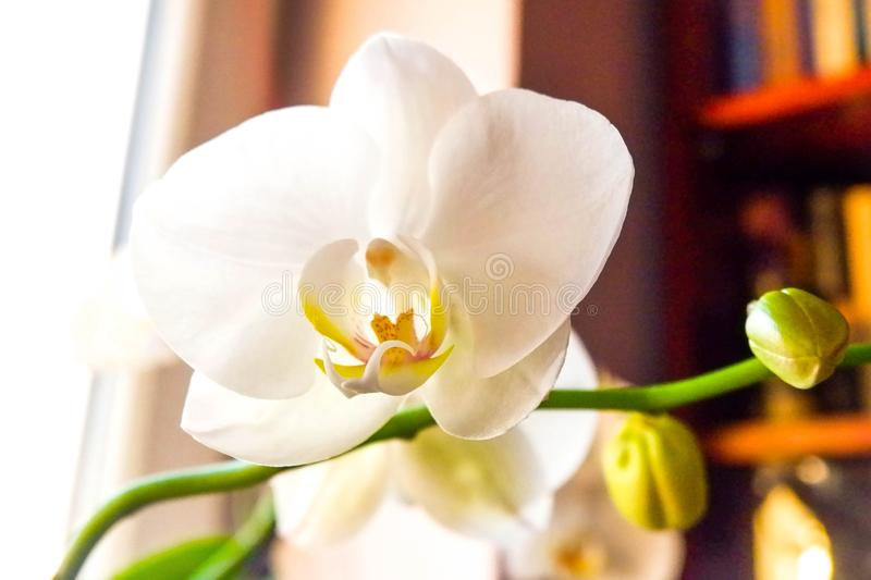 White moth orchid. And library in the background royalty free stock photography