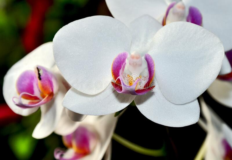 White moth orchids stock images