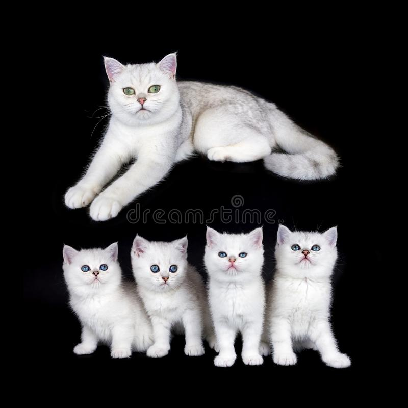 White mother cat with nest kittens on black background stock photo