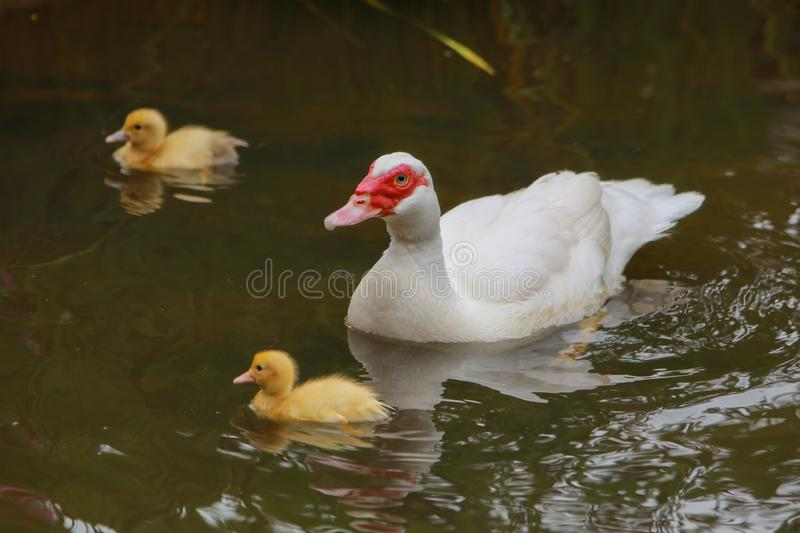 Mother duck and ducklings. A white mother duck and her baby ducklings swimming stock image