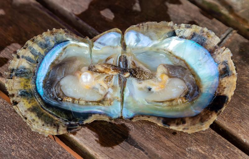 White Mother Of Pearl Pinctada maxima oyster royalty free stock photography