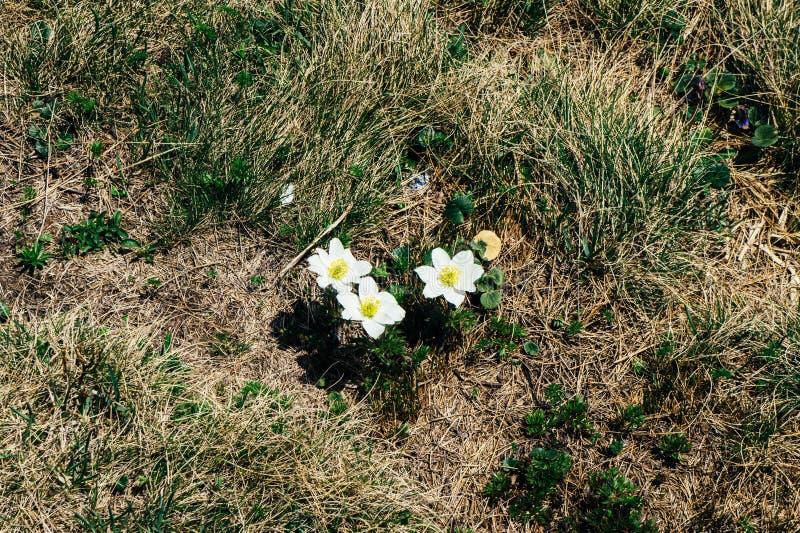 White mountain flowers grow on the tourist route in the mountains of download white mountain flowers grow on the tourist route in the mountains of europe stock image mightylinksfo