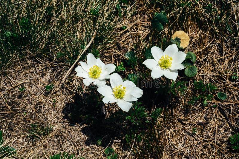 White mountain flowers grow on the tourist route in the mountains of download white mountain flowers grow on the tourist route in the mountains of europe stock photo mightylinksfo