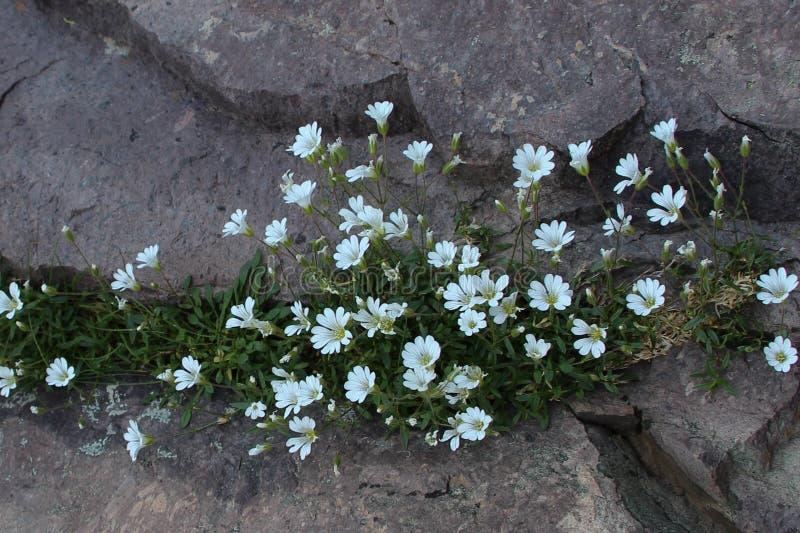 White mountain flowers. stock photography