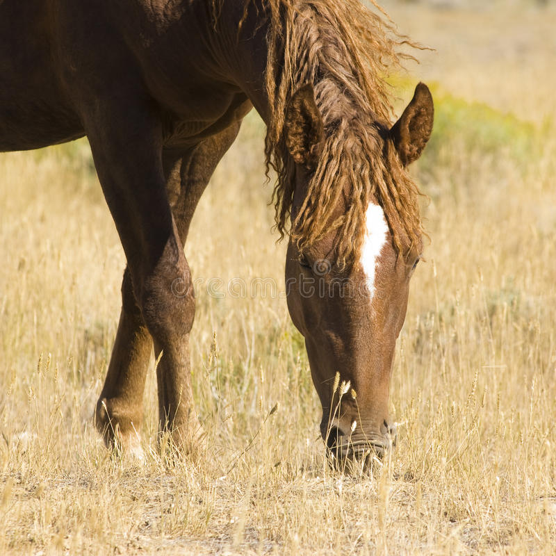 White Mountain Mustangs. Free roaming mustangs on the White Mountain BLM land near Green River Wyoming stock photography