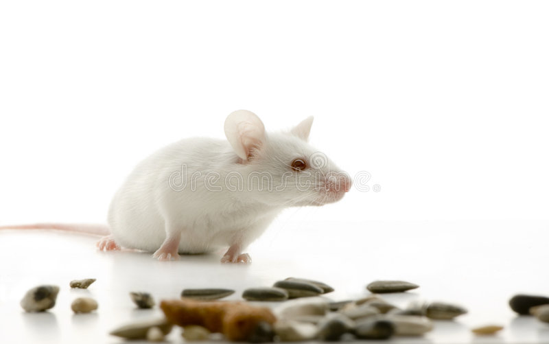 White Mouse. In front of a white background and looking for food stock images
