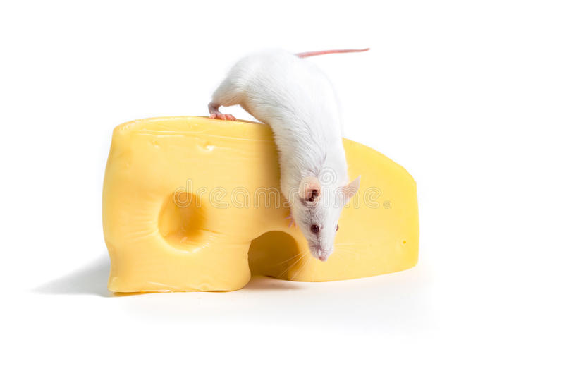 White mouse perched on a large block of cheese. Isolated on a white background stock photo