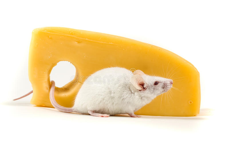 White mouse perched by a large block of cheese. Isolated on a white background royalty free stock image