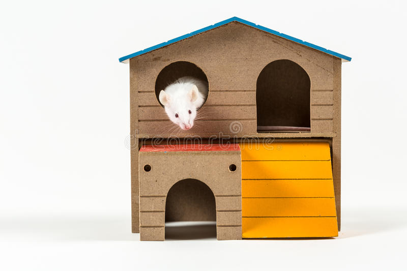 White mouse in a rodent house. Peeking out isolated on a white background royalty free stock photo