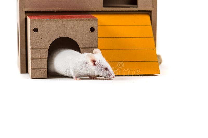 White mouse in a rodent house. Peeking out isolated on a white background stock photos