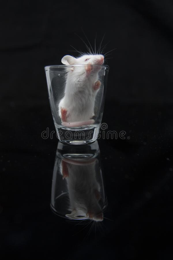White mouse in transparent glass. Isolated on black background royalty free stock photo