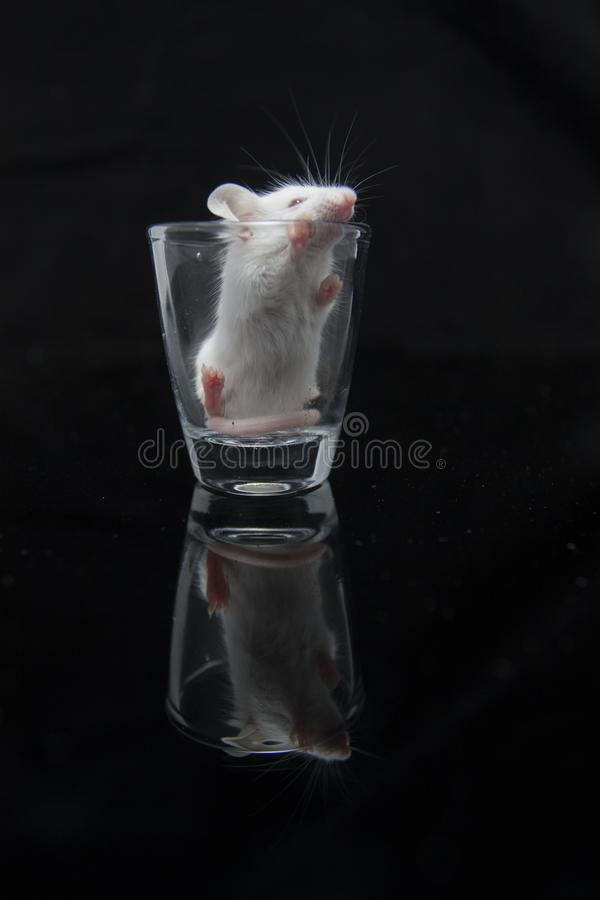 White mouse in transparent glass. Isolated on black background stock image