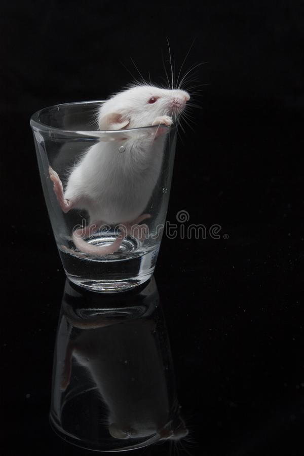 White mouse in transparent glass. Isolated on black background stock photography
