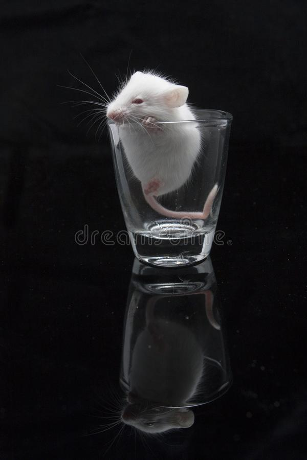 White mouse in transparent glass. Isolated on black background stock photo