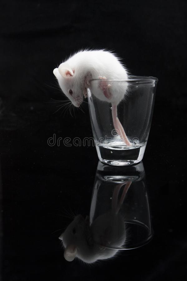 White mouse in transparent glass. Isolated on black background royalty free stock images