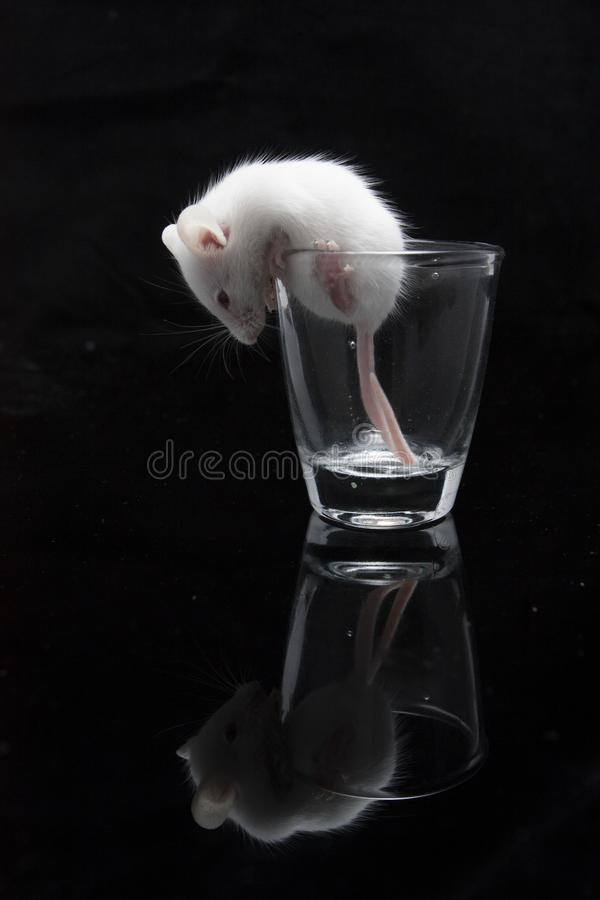 White mouse in transparent glass. Isolated on black background stock photos