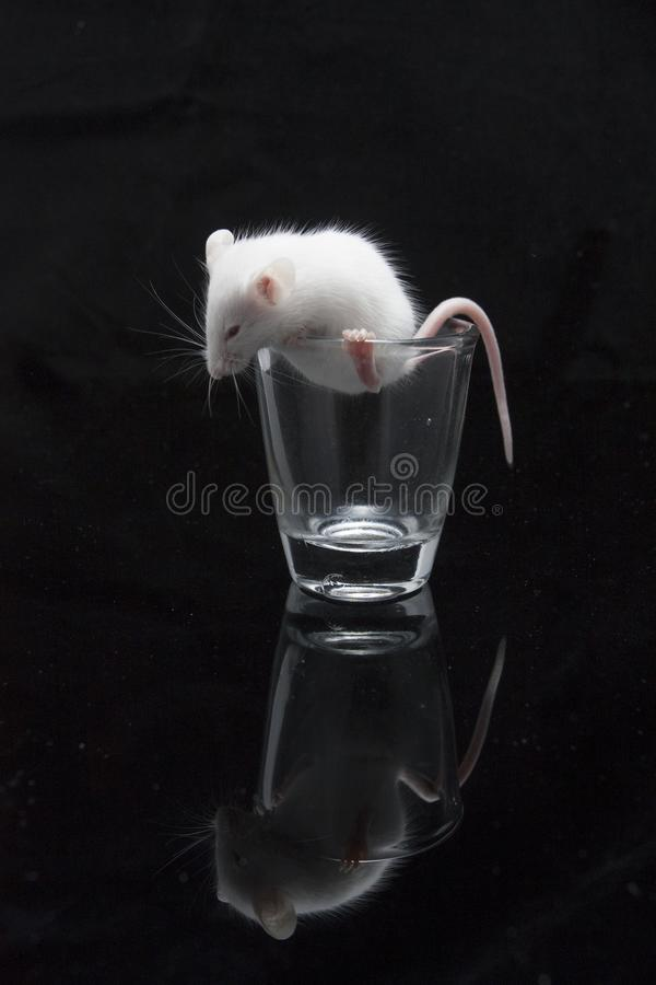 White mouse in transparent glass. Isolated on black background stock images