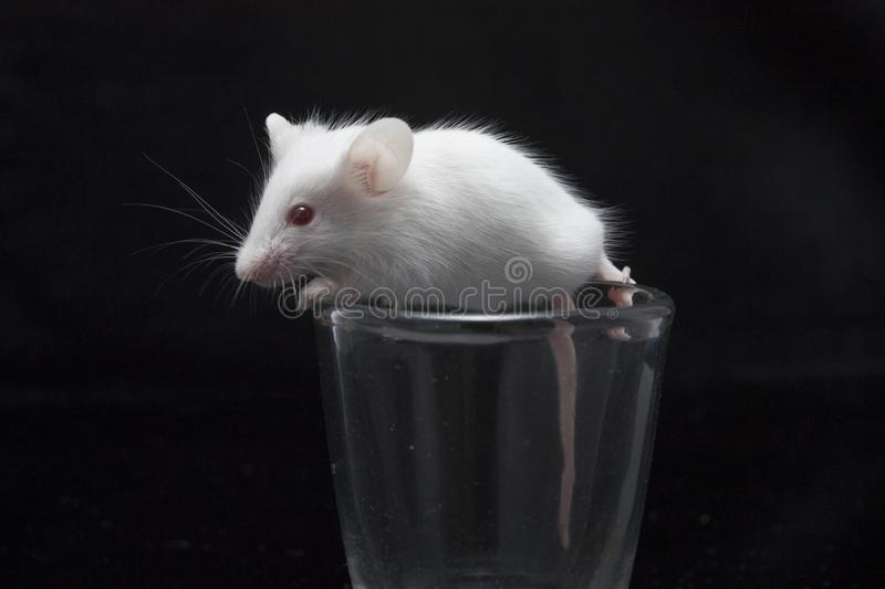 White mouse in transparent glass. Isolated on black background royalty free stock photos