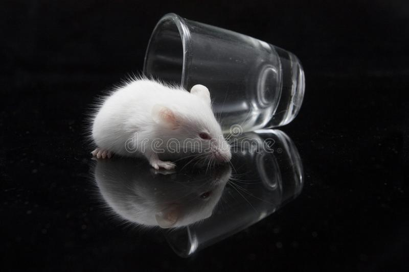 White mouse in transparent glass. Isolated on black background royalty free stock image
