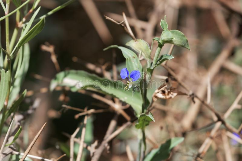 White mouth dayflower Commelina erecta stock photography