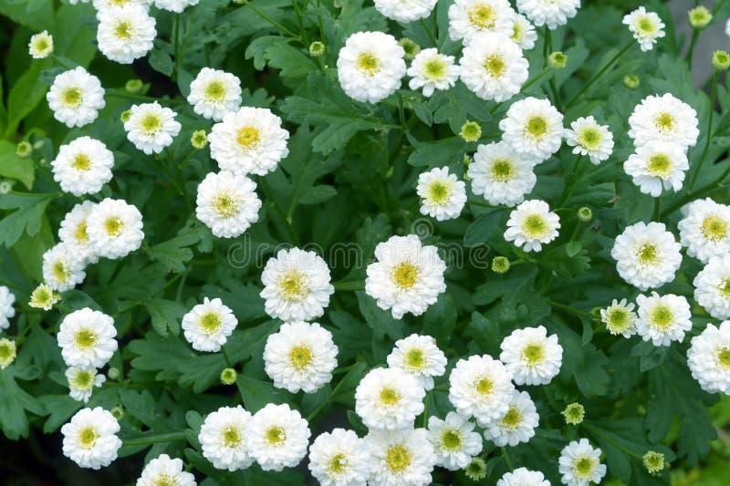 White mum flower stock image image of beauty petal 72473273 download white mum flower stock image image of beauty petal 72473273 mightylinksfo