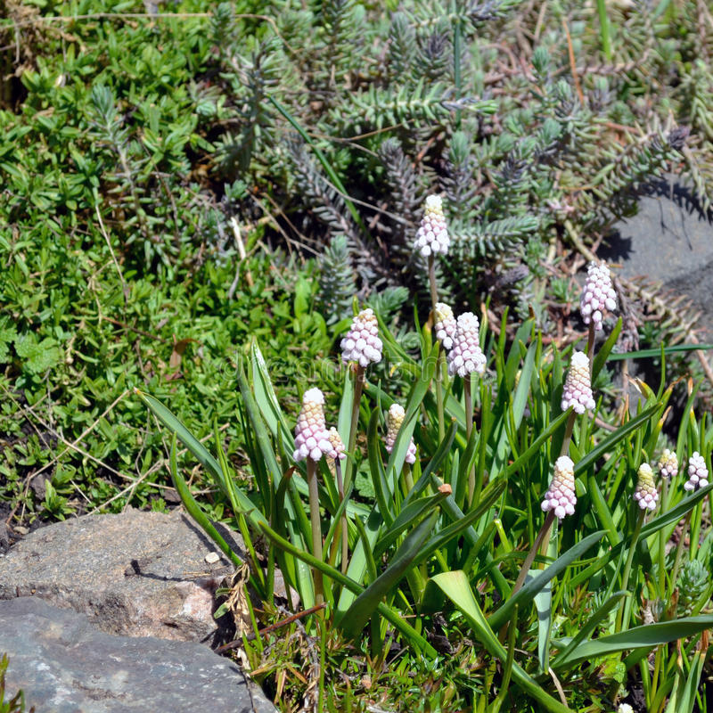 White Muscari flowers. On the ground among the stones stock photography