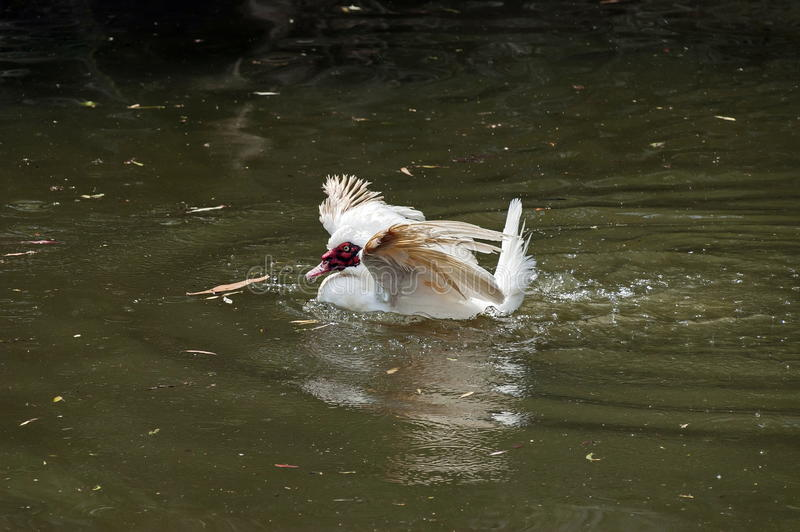 Download White Muscovy Domestic Duck Stock Image - Image: 32152561