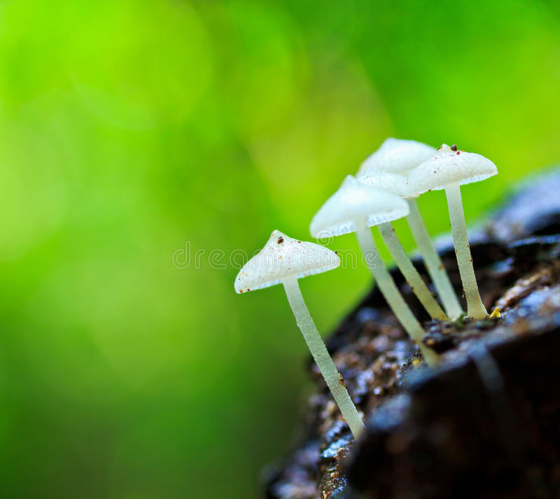 White mushroom. In tropical rain-forest of Thailand stock photos