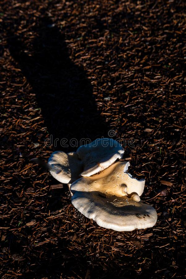 White mushrooms growing out of damp ground in the forest, highlighted by late afternoon sunbeam royalty free stock images