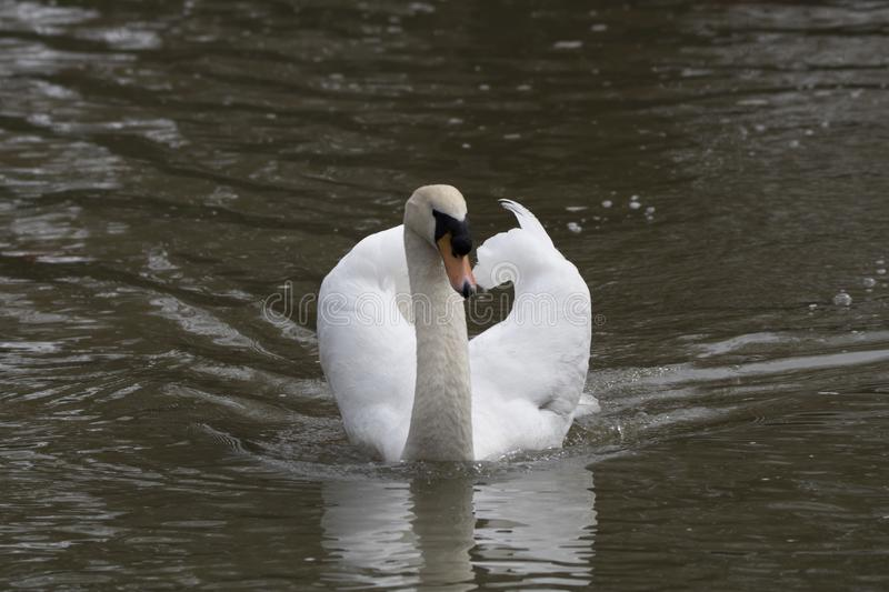White mute swan. Floating and swimming toward you on calm water with orange and black beak royalty free stock images