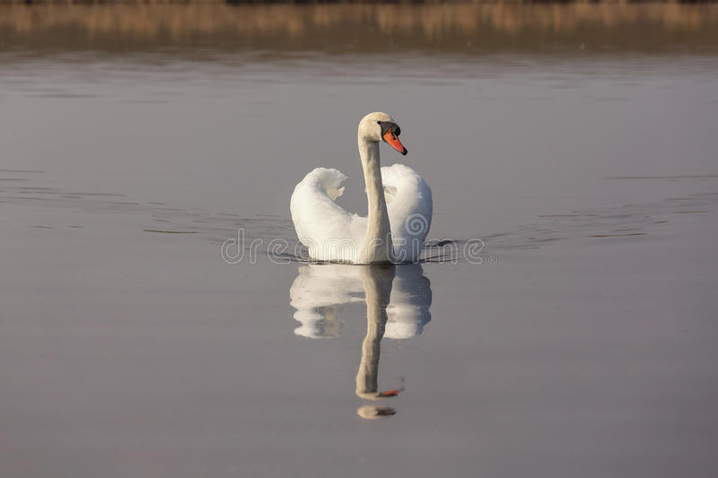 White mute Swan. Floating on the water. The reflection of the floating bird in the water. Backlight. Photograph outdoors stock image