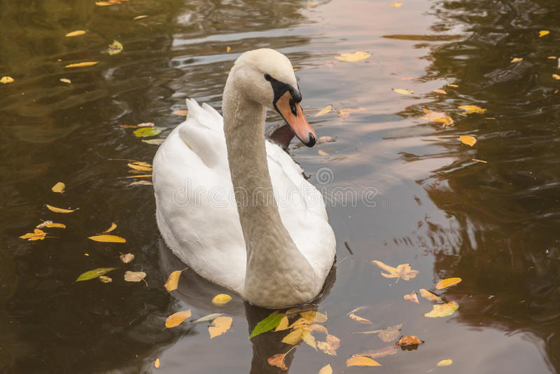 White mute swan. On the lake in autumn in the park stock photos