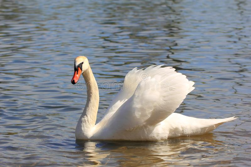 White Mute Swan on a Lake. Eurasian swan, having white plumage and an orange-red bill with a black knob at the base stock photography