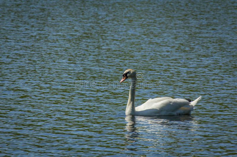 White Mute Swan. Majestic white Mute Swan swimming in natural summer lake royalty free stock image